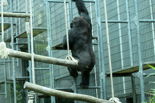 Citytrip-Keulen-Kölner-Zoo-Gorilla