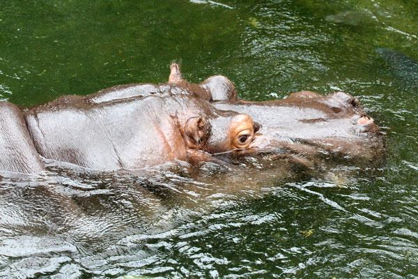 Citytrip-Keulen-Kölner-Zoo-Nijlpaard