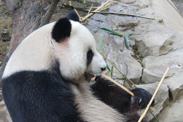 China,-Guangzhou-Chimelong-Xiangjiang-Safari-Park_13